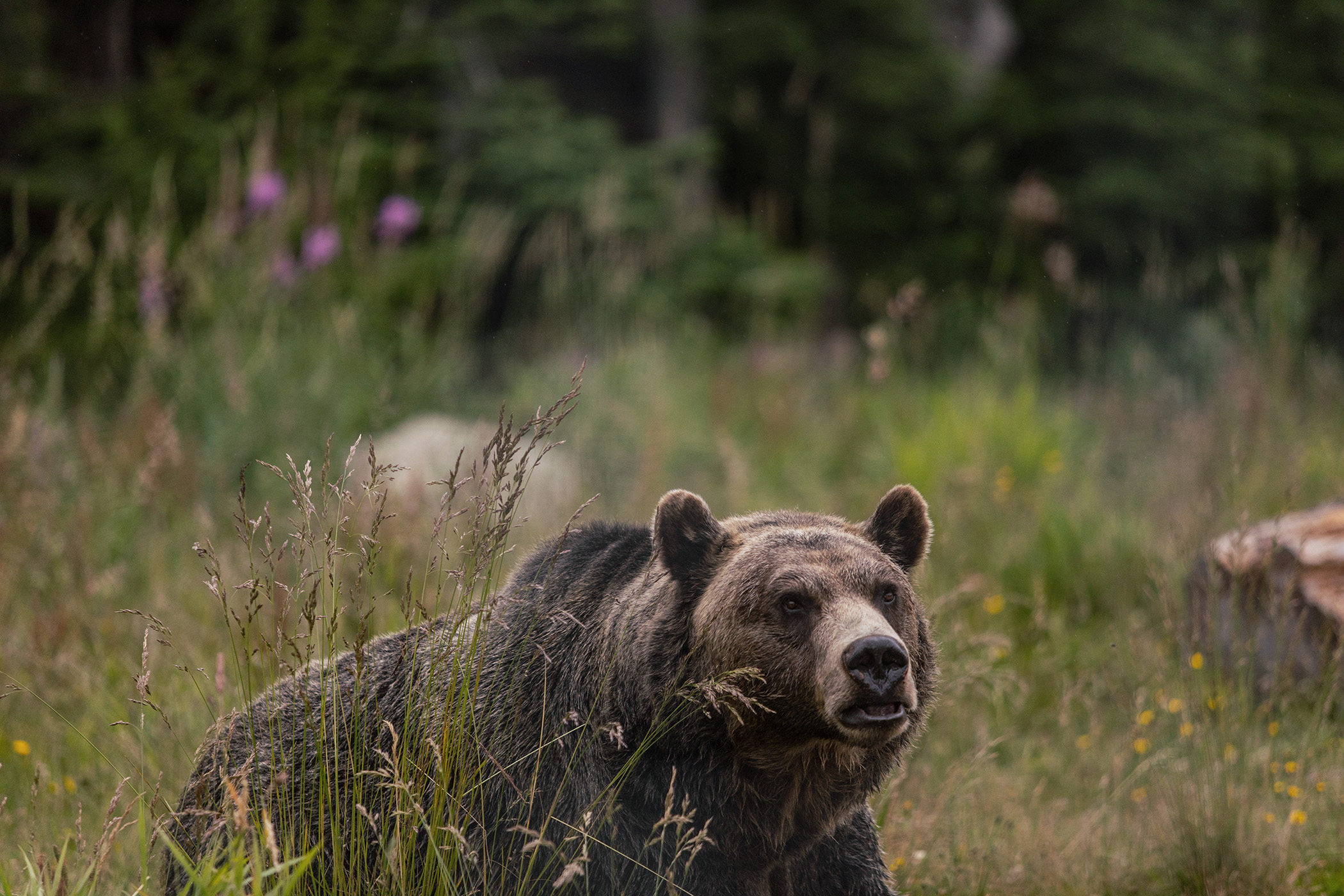 Mike Kane | Grizzly bear in British Columbia, Canada | Seattle documentary, editorial, and commercial photography